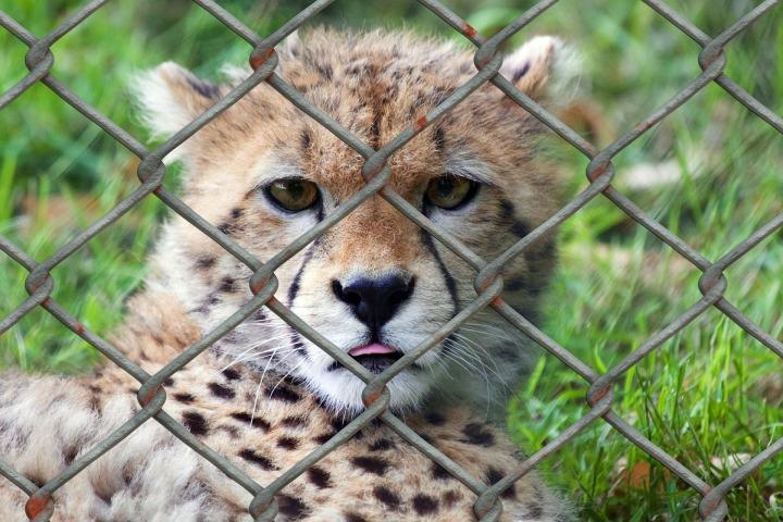 cheetah-509100_1920