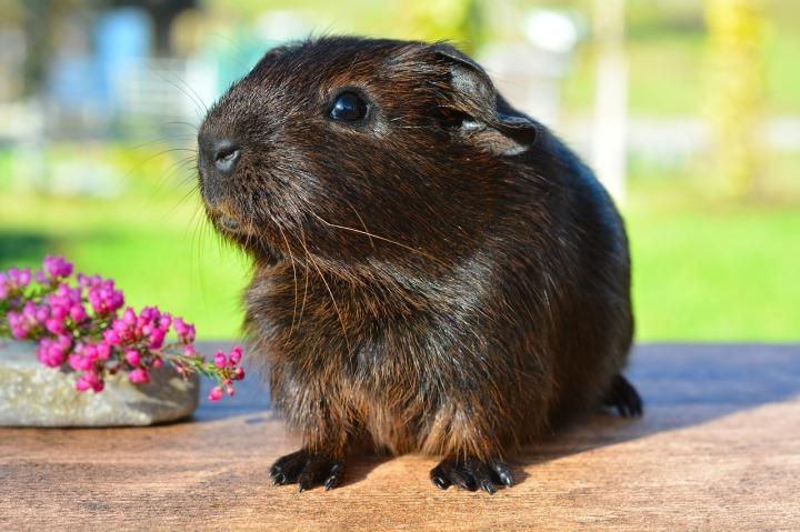 guinea-pig-518266_1280