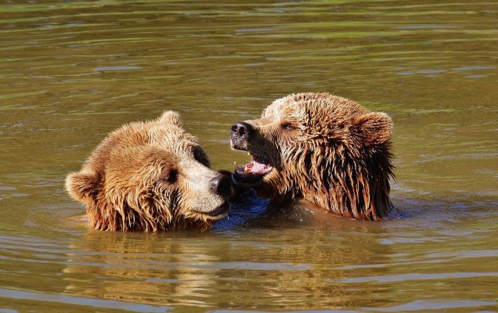 bear-1325790_1920