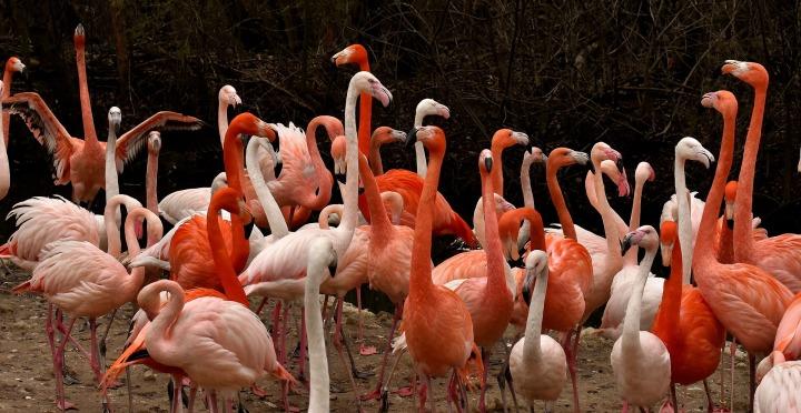 flamingo-3322290_1920